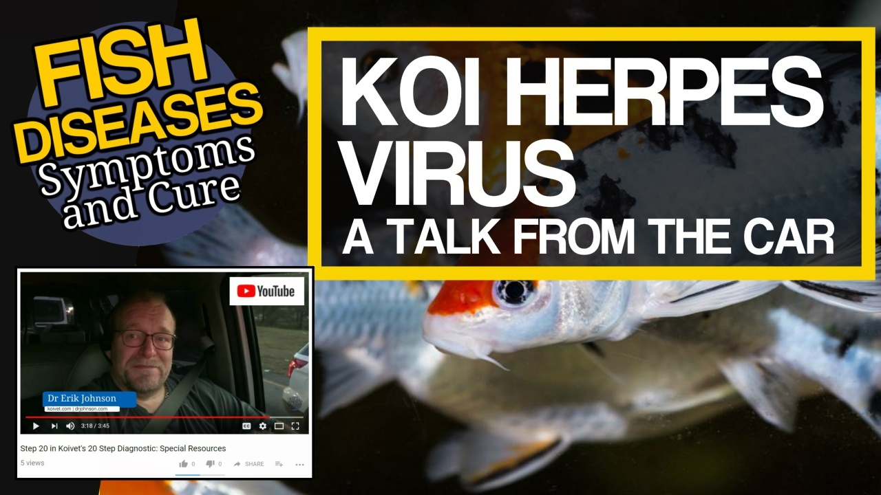 Koi Herpes Virus video at Youtube.com