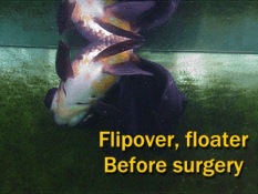Flipover Goldfish Before Surgery