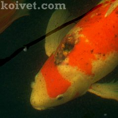 Skin Cancer in Koi Showa Sanke