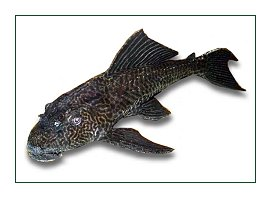 Plecostomus for control of string Algae