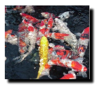Feeding Koi too much, too little or just how much?