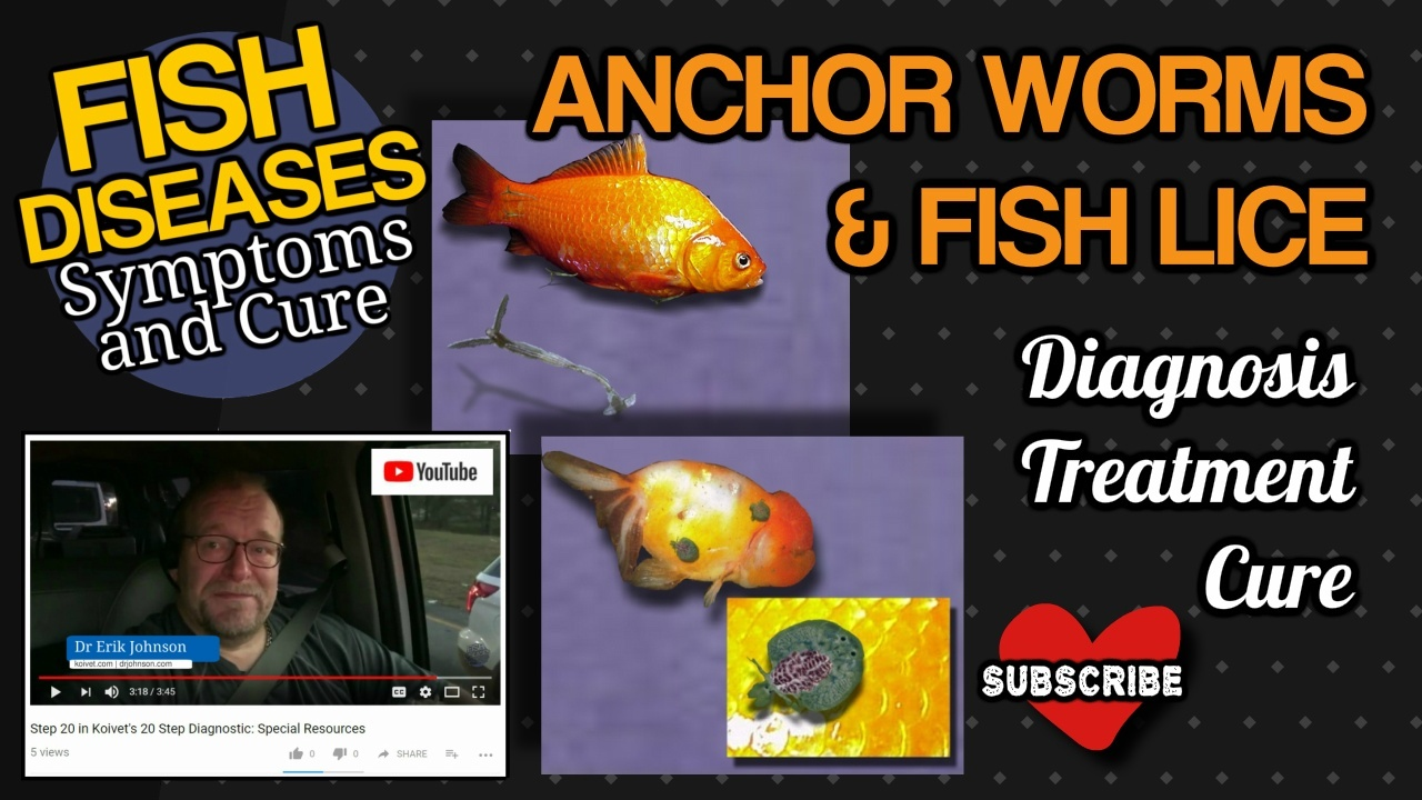 Argulus anchor worm fish lice thumbnail