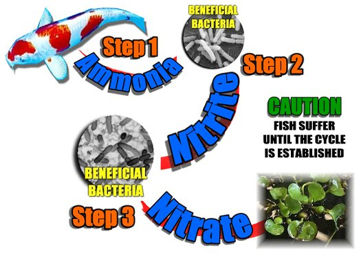 The nitrification cycle of beneficial bacteria