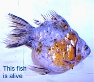 Goldfish with Hexamita. This fish won't die in all probability. Metronidazole will save it.