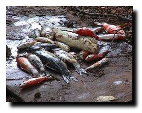 Fish died of Koi Herpes Virus