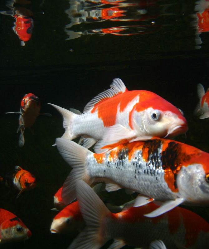 "Koi fish are ""the"" pond fish and grow to a very large size"