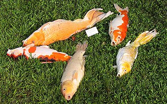 Rotenone for depopulation of fish ponds