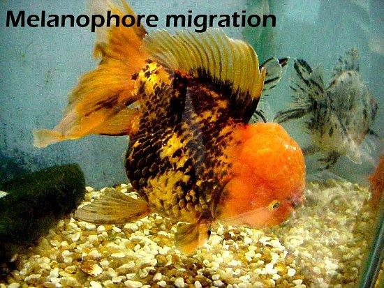 Blackening of a goldfish kin