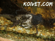 Plecostomus damage to a goldfish