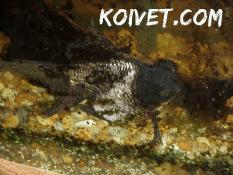 Plecostomus damage to a goldfish