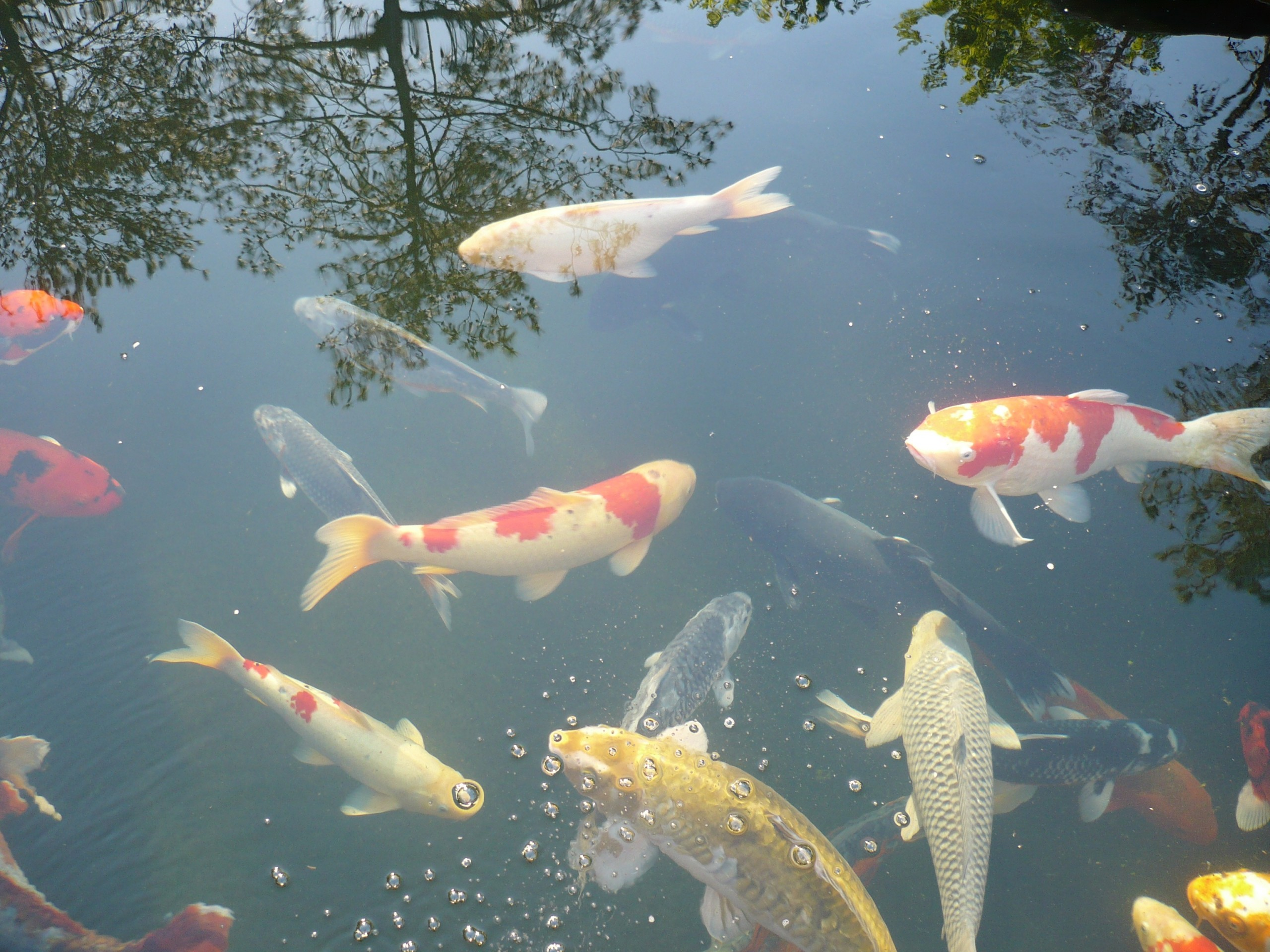 Water quality and koi health improved with bentonite and montmorillonite clays