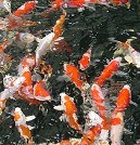 Feeding Koi, or Overfeeding Koi?
